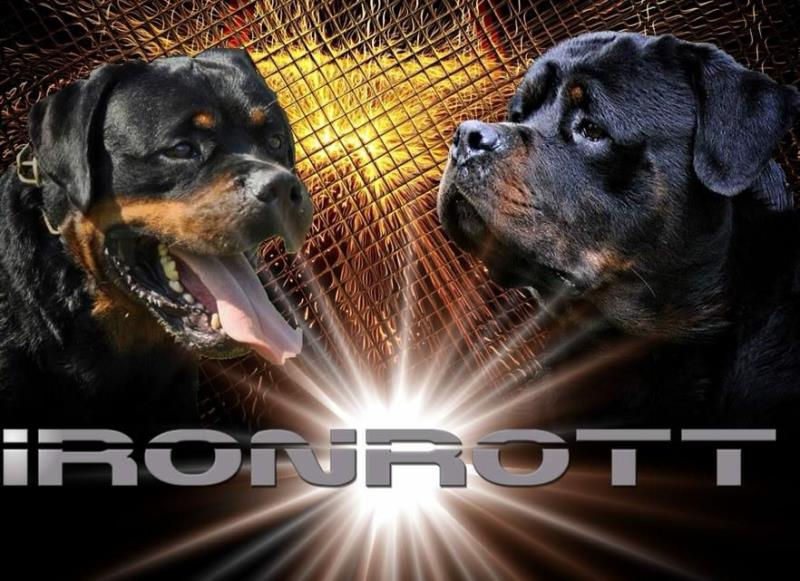 Rottweilers Aron and Moro